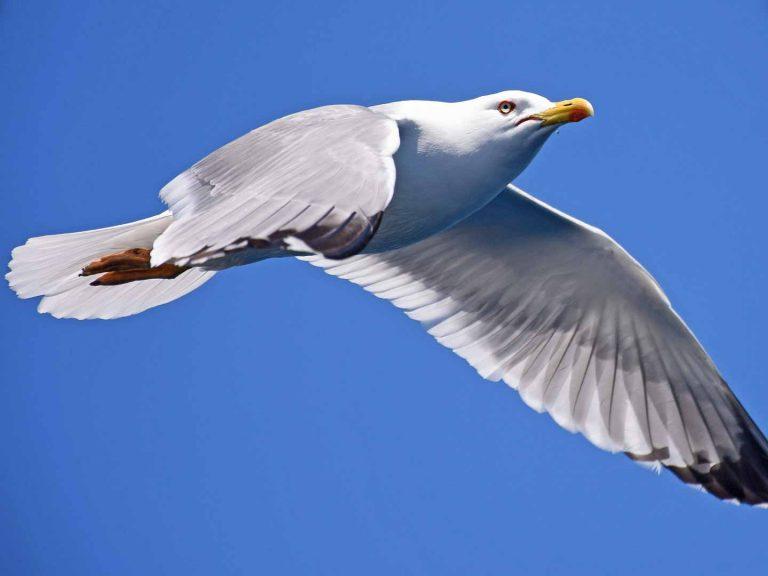 Seagull Martin Keller